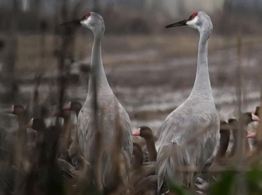 Sandhill Cranes hiding in reeds