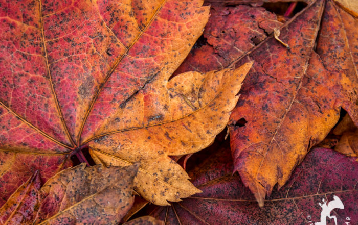 Autumn maple leaves in red and orange