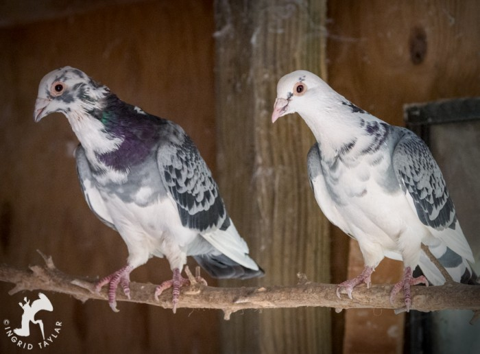 Blue and White pigeons in aviary