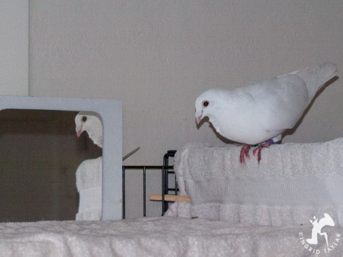 Domestic pigeon looking in mirror