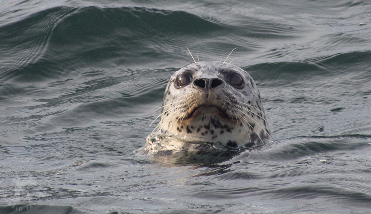 Harbor Seal in Seattle