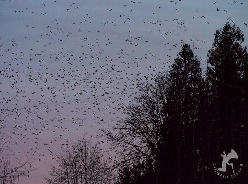 10,000 Crows roosting in Bothell