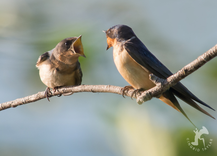 Barn Swallow chick gaping for adult
