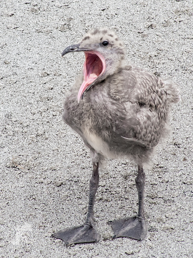 Glaucous-winged Gull Chick in a yawn