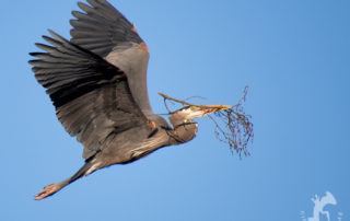 Great Blue Heron flying with branch