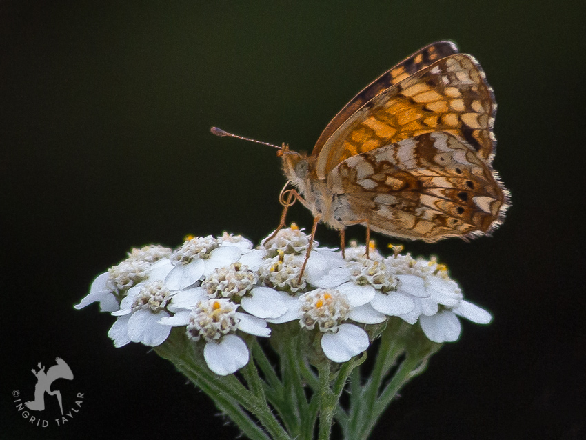 Mylitta Crescent Butterfly in Oregon