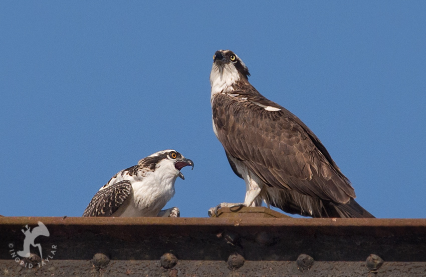 Osprey parent with fledgling chick