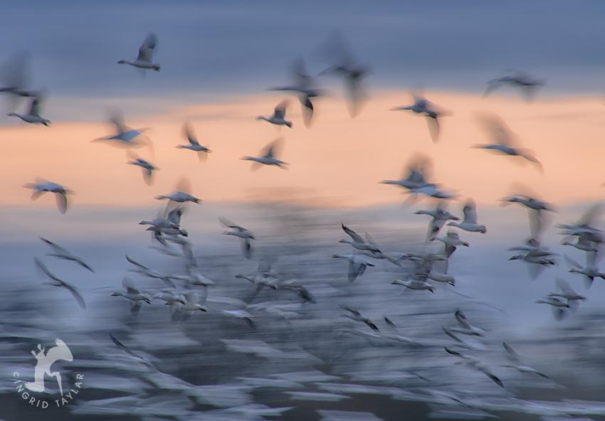 Snow Goose Wing Blur Photo