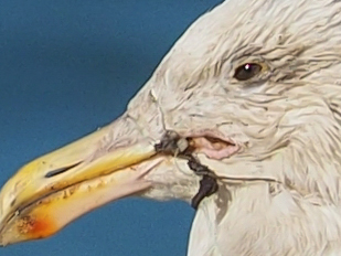 Western Gull Entangled in Fishing Line