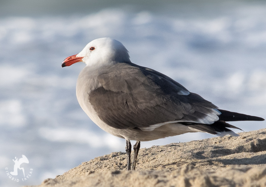 Heermann's Gull on Redondo Beach