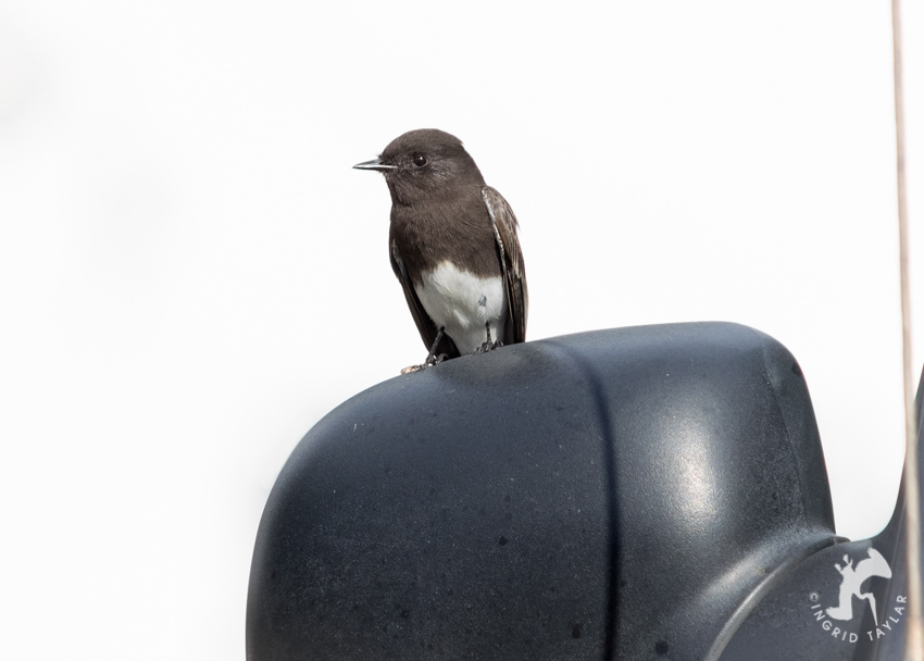 Black Phoebe on Car Sideview Mirror