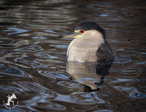Spa Day for a Night Heron
