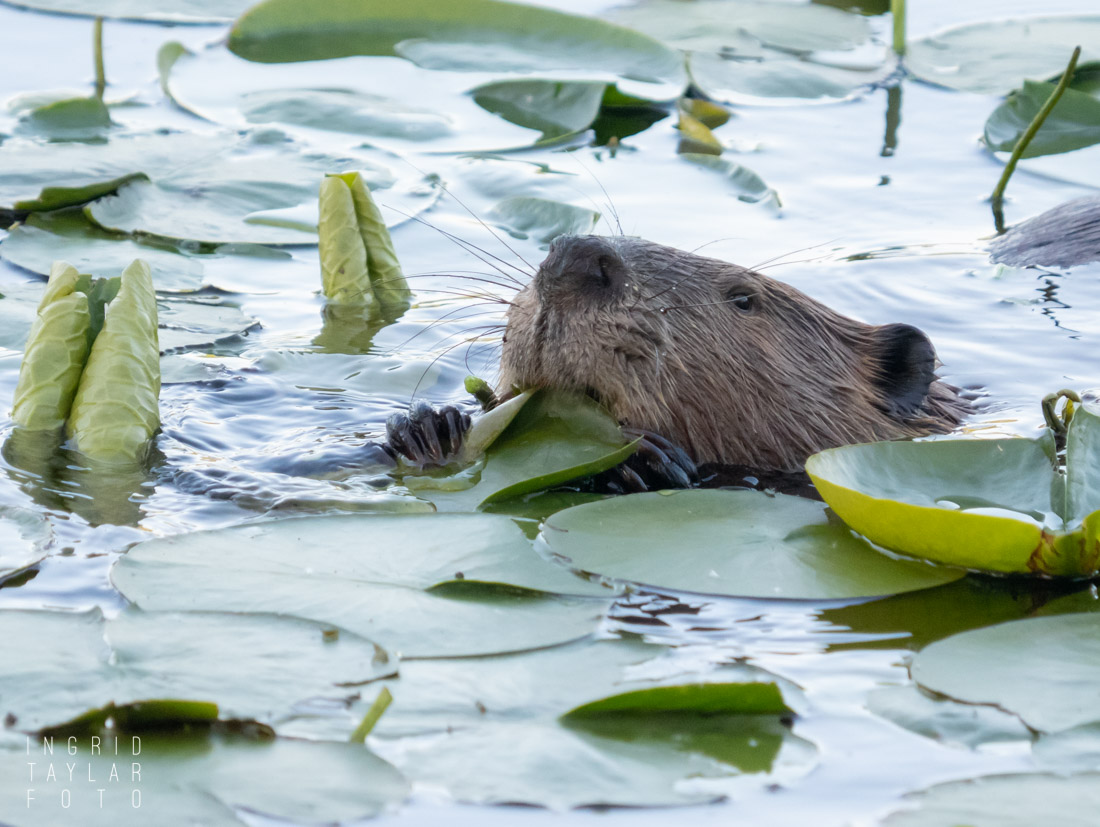 Beaver Eating Lily Pads