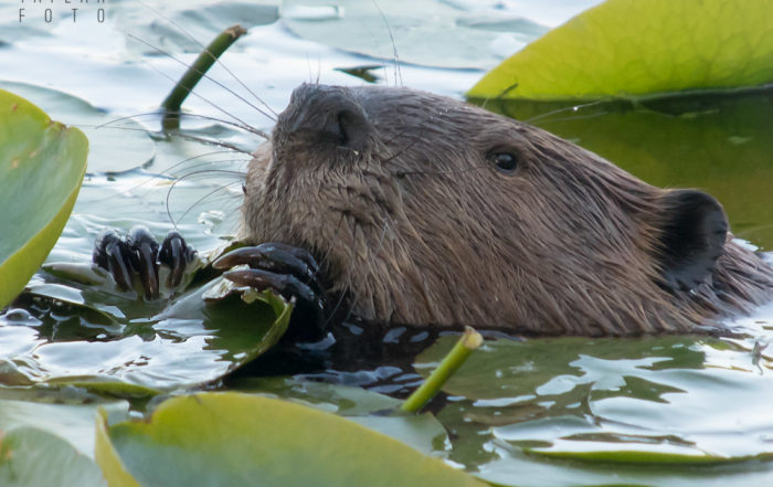 North American Beaver Eating Lily Pads