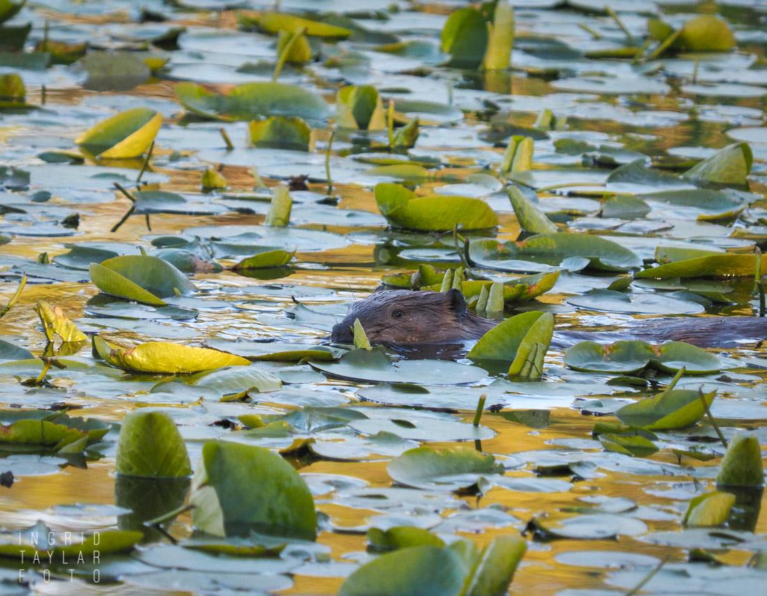 North American Beaver Swimming in lily pads at Juanita Bay