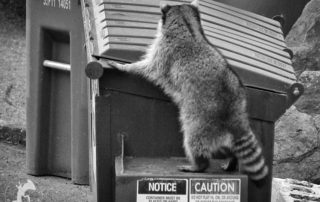 Raccoon Foraging in Dumpster