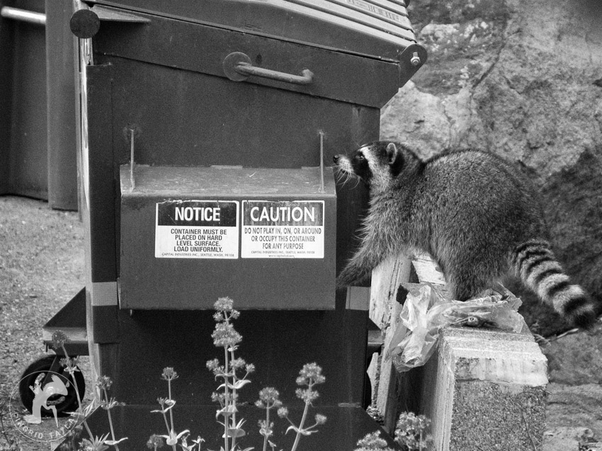 Raccoon Foraging at Dumpster