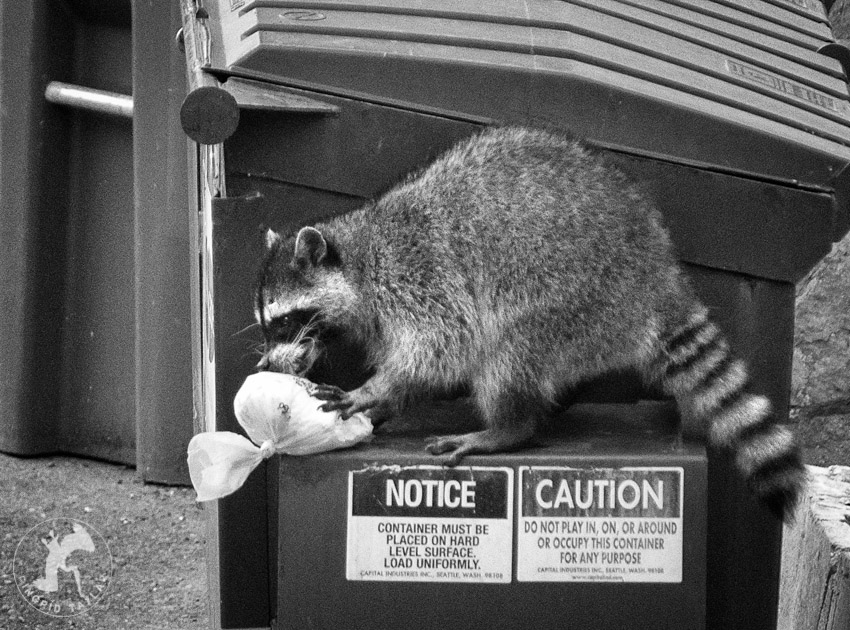Raccoon taking trash from dumpster