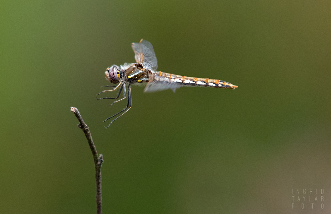 Meadowhawk in Flight