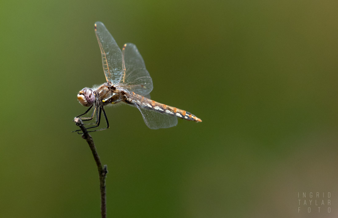 Meadowhawk Perched on Stick