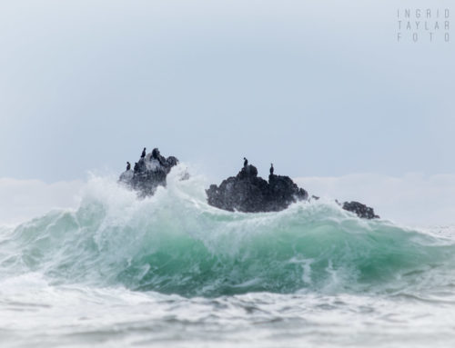 Raging Sea of Cormorants