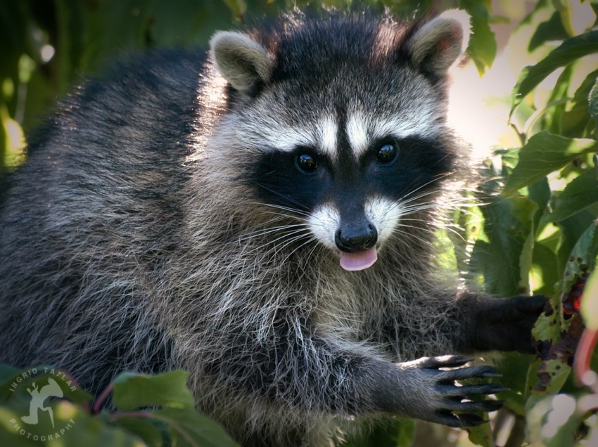 Raccoon Eating Plums