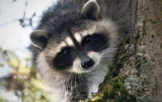 Raccoon Kits in Tree