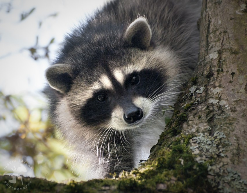 Raccoon Kits in Tree