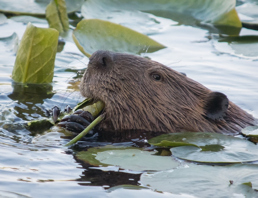 American Beaver eating lily pads on Juanita Bay Washington