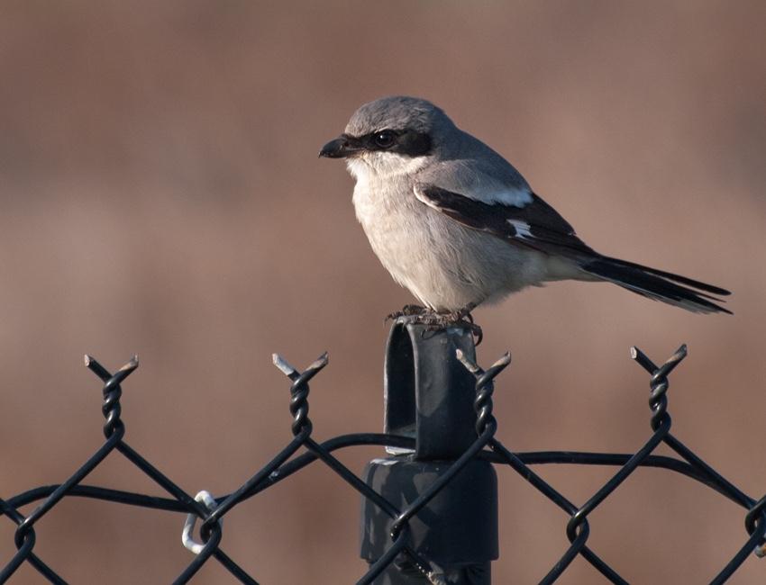 Northern Shrike on fence post