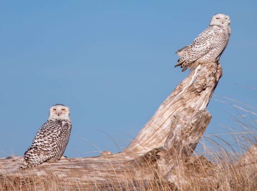 Snowy Owls at Ocean Shores Washington