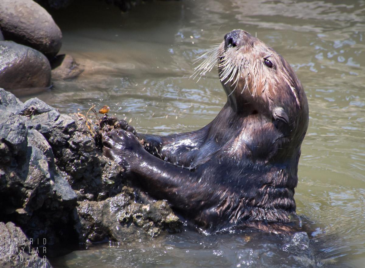 Sea Otter Breaking Mollusk