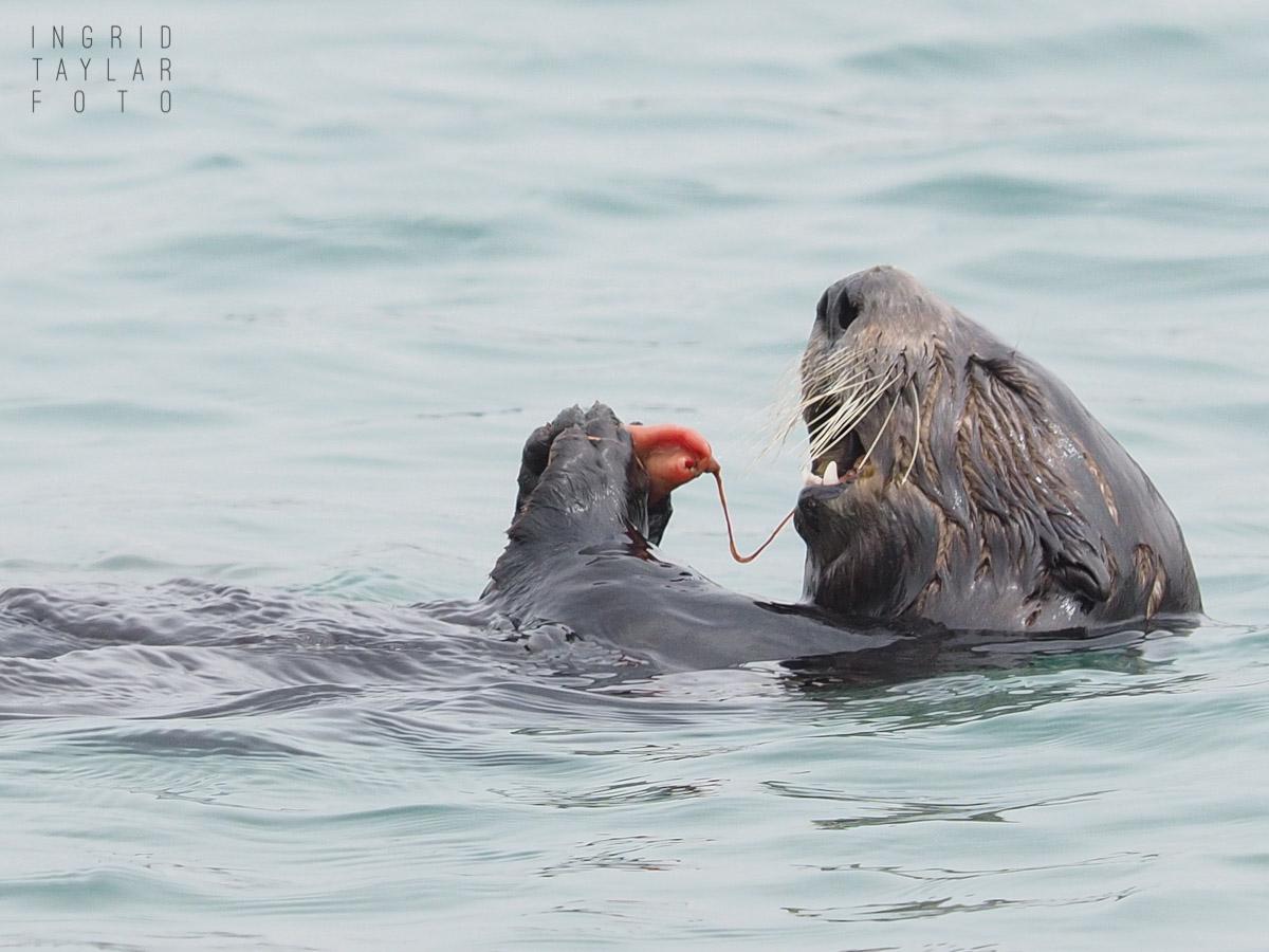 Sea Otter Eating Innkeeper Worm