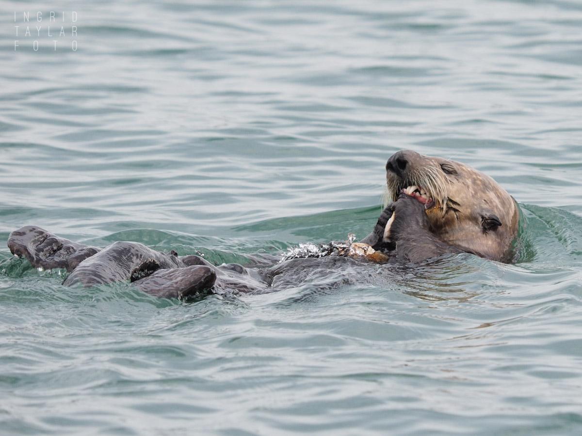 Sea Otter Eating Mollusk