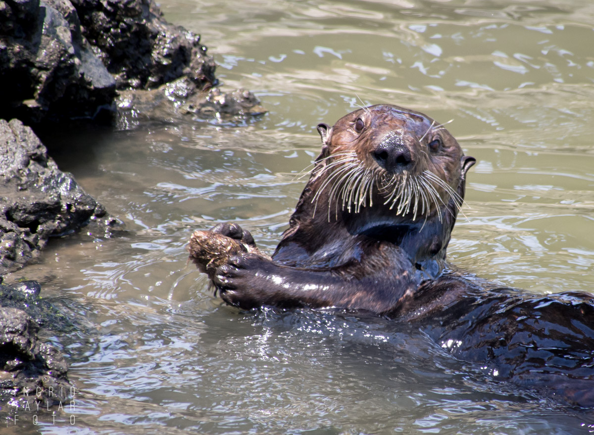 Sea Otter with Mollusk