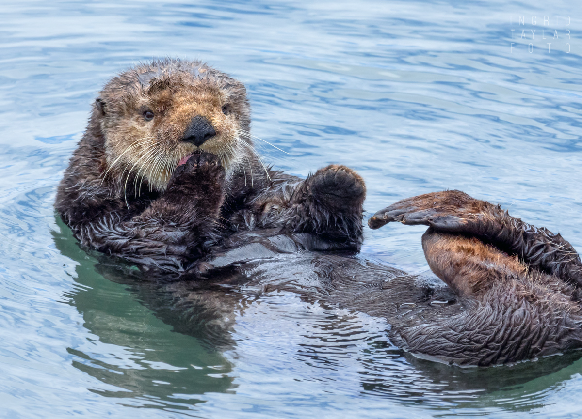 Southern Sea Otter Grooming on Central Coast