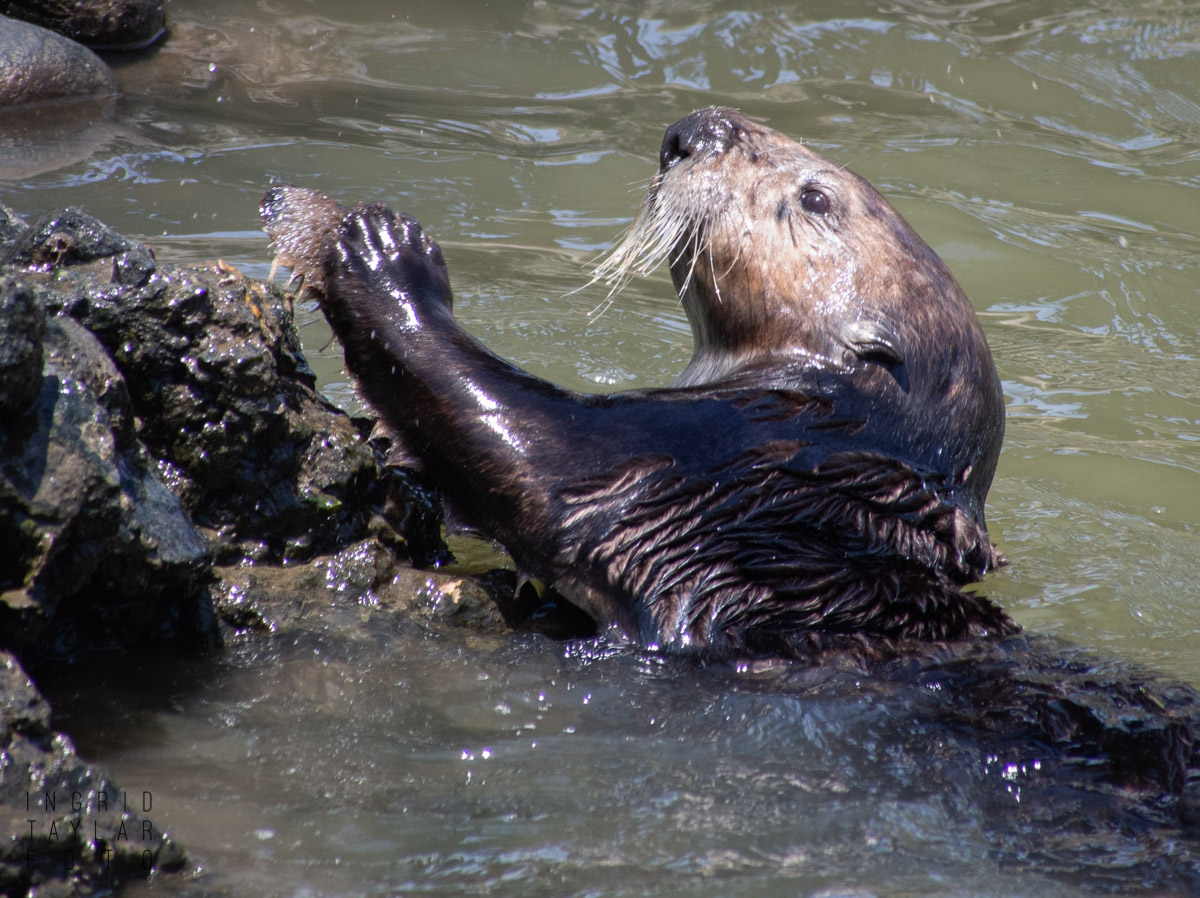 Southern Sea Otter Smashing Shell on Rocks 1200