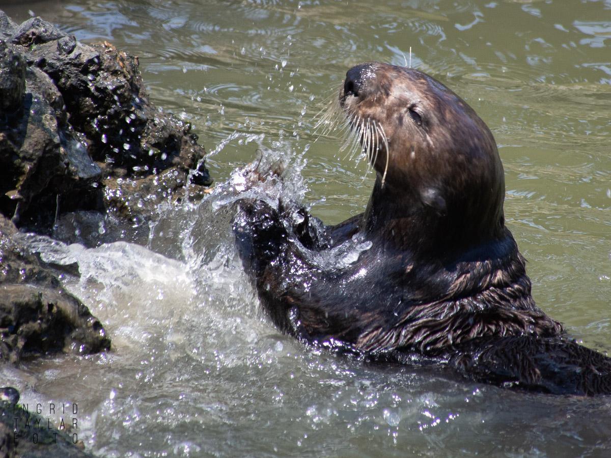 Southern Sea Otter Smashing Shell on Rocks 2 1200