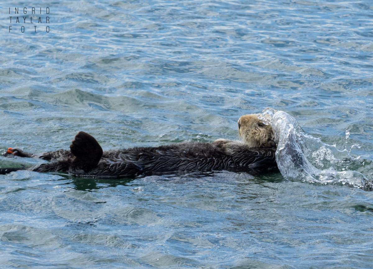 Sea Otter Paddling
