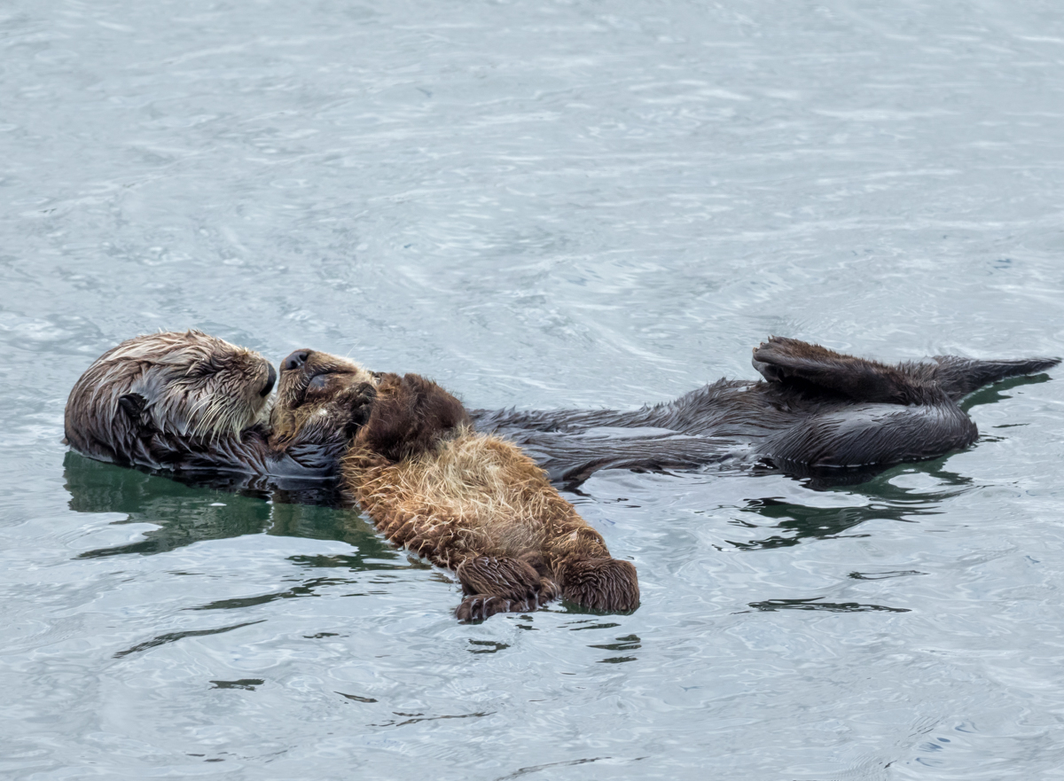Southern Sea Otter and Pup