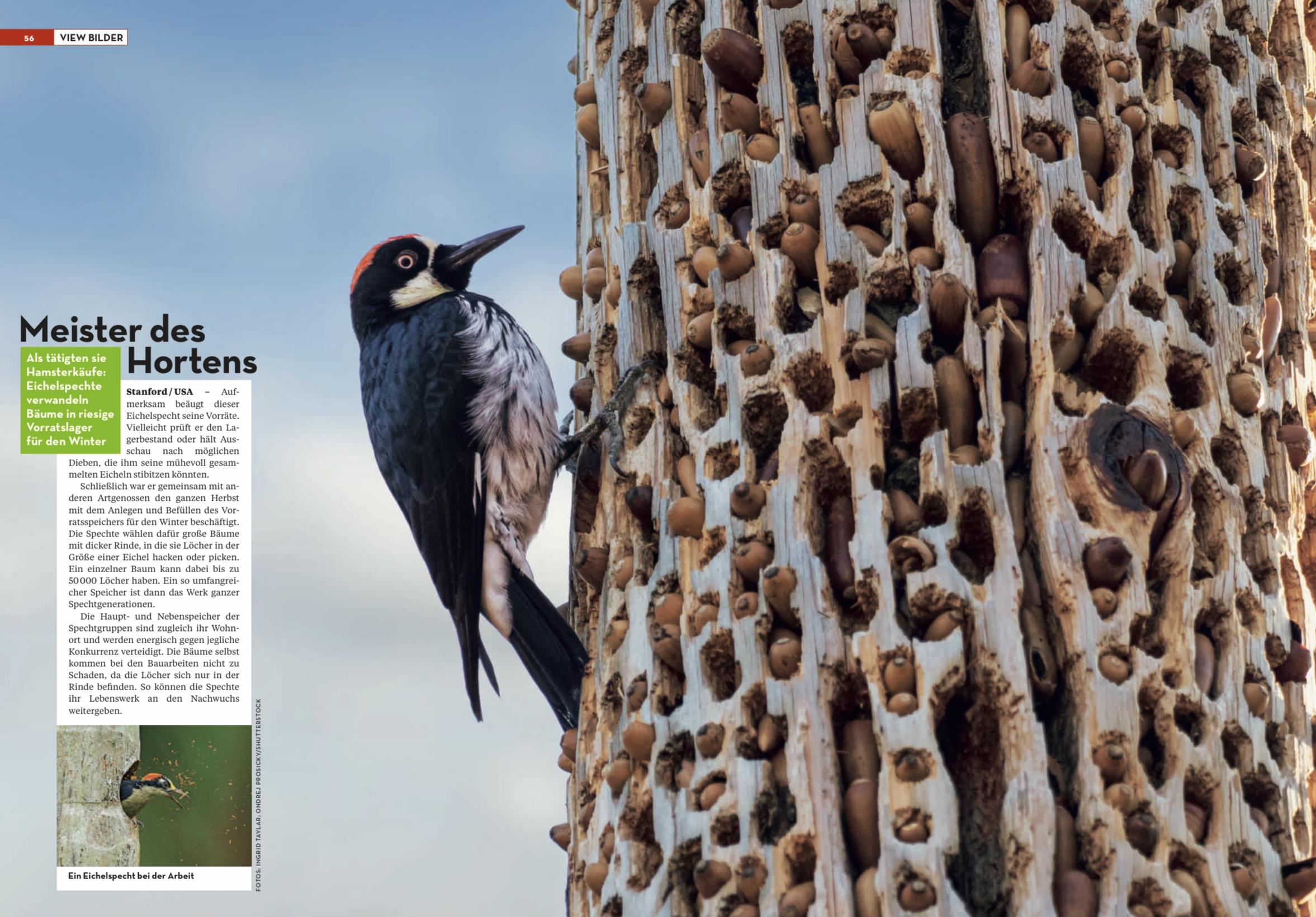 Bild Magazin - Feb 2021 - Acorn Woodpecker