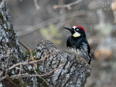 Acorn Woodpecker at Mt Diablo