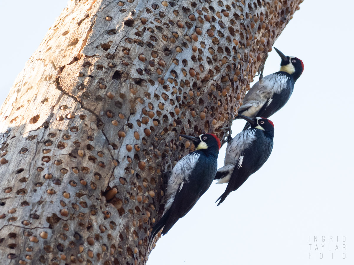 Acorn Woodpecker Tree Granary