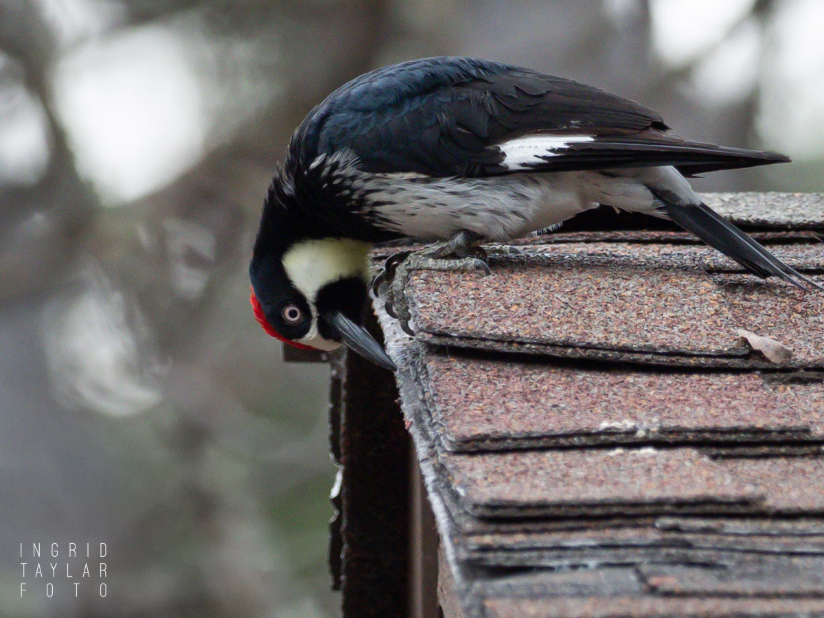 Acorn Woodpecker Using Building as Granary