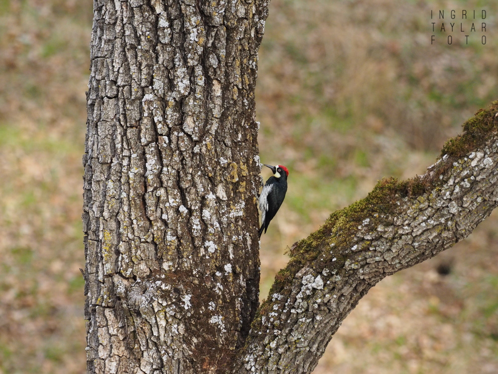Acorn Woodpecker on Oak tree in Sunol Regional Wilderness