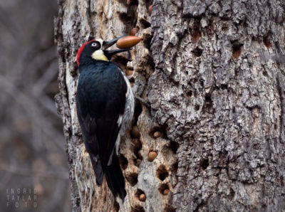 Acorn Woodpecker with Acorn at Mt. Diablo State Park