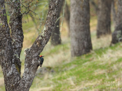Acorn Woodpecker in Oak Habitat