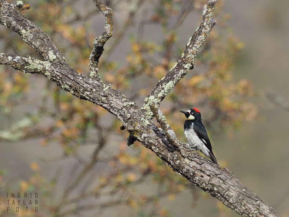 Acorn Woodpecker in California Oak Habitat at Sunol Regional Park