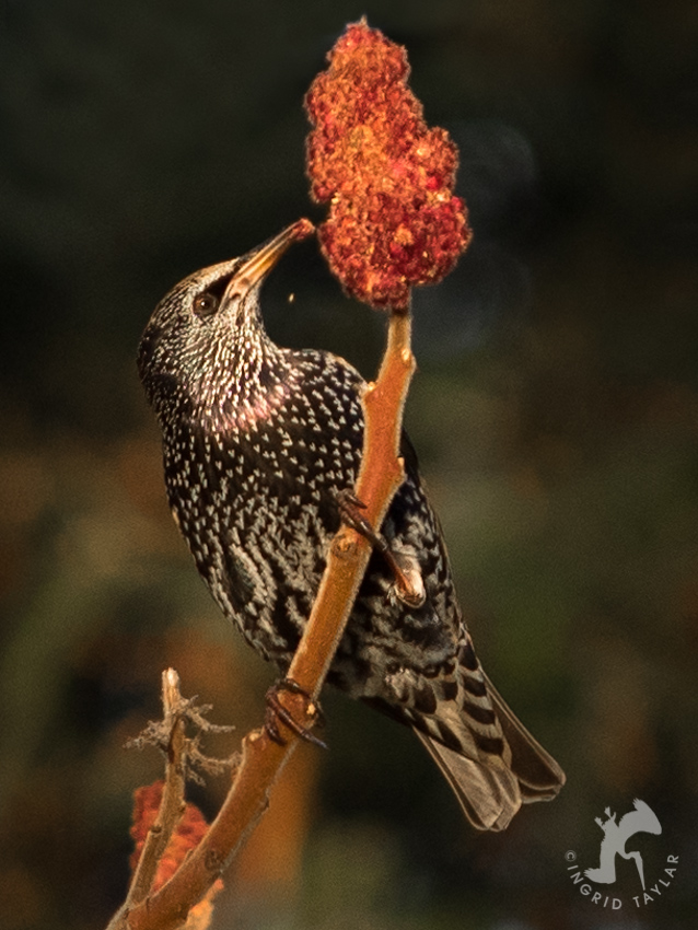 Starling eating autumn plant