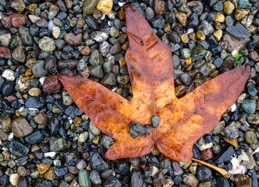 Autumn Leaf on rocky beach